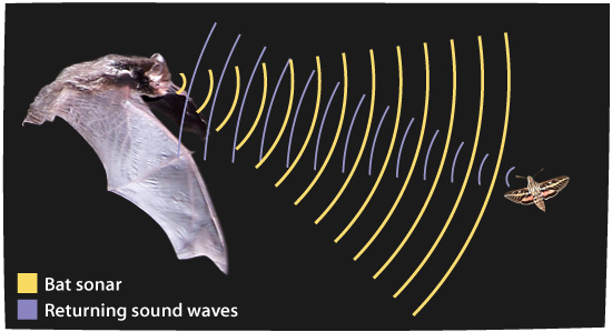 Bats using echolocation