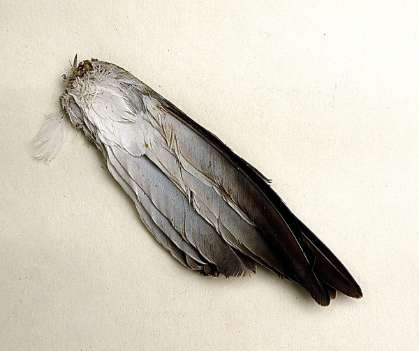 Found bird wing