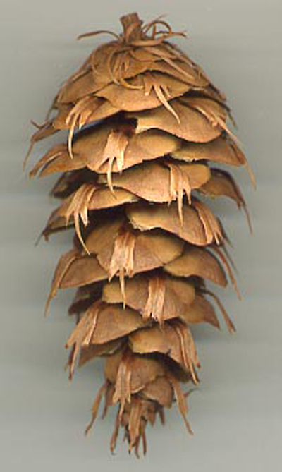 Seed cone from Douglas Fir