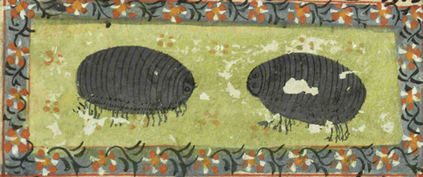 "Woodlice from ""The Book of Wonders of the Age"" – 17th or 18th century manuscript"