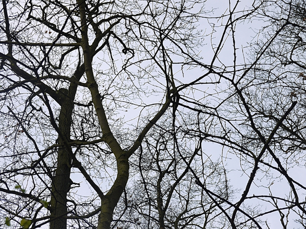Tree canopy - Ben's photo of a 'bat' sighting